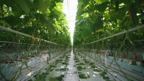 工业蔬菜生产:与水滴灌溉的环境生产 股票录像