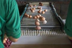 工业蛋的鸡 免版税库存图片