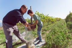 工作与葡萄收获的父亲的男孩在有葡萄园的农场 免版税图库摄影