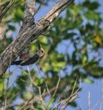 工作午餐的公尤加坦啄木鸟在密林在Mexi 图库摄影