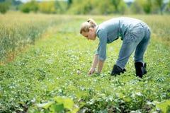 工作在一个领域的年轻农艺师,在热的夏日 库存照片