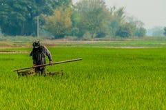 工作在一个绿色米领域的人 图库摄影