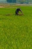 工作在一个绿色米领域的人 免版税库存照片