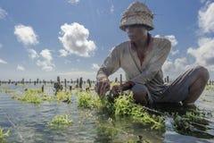 工作在他的种植的海草海农场的印度尼西亚农夫耕种的更多,努沙Penida,印度尼西亚 免版税库存图片