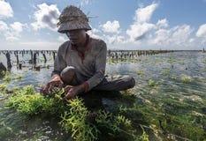 工作在他的种植的海草海农场的印度尼西亚农夫耕种的更多,努沙Penida,印度尼西亚 库存照片