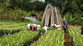 工作在农田的农夫。LAM DONG,越南12月22日 库存图片