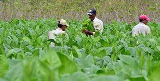 工作在古巴烟草种植园的人 免版税库存照片