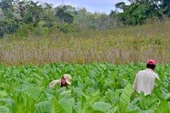 工作在古巴烟草种植园的人 免版税图库摄影