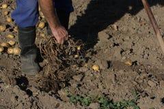 工作在土豆收获的农夫 免版税库存照片