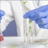 工作在实验室的科学家化学家对大麻研究 人藏品两有叶子的试管 ?? 库存图片