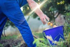 工作在庭院里的农夫收获新鲜的有机土豆 库存照片