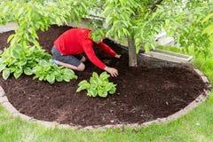 工作在庭院里的花匠做覆盖树根 免版税库存图片
