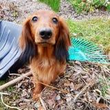 工作在庭院里的达克斯猎犬 库存图片