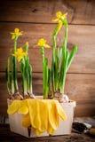 工作在庭院里:开花在罐的黄色黄水仙 库存图片