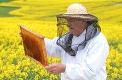 工作在开花的油菜籽领域的资深养蜂家 库存图片