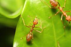 工作在树的小红色蚂蚁 免版税库存图片