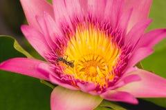 工作在桃红色和黄色莲花的蚂蚁 库存图片