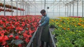 工作在温室幼木的花匠顺利地投入 股票视频
