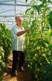 工作在温室庭院里的成熟男性花匠 图库摄影