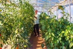 工作在温室庭院里的成熟男性花匠 免版税库存照片