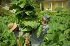 工作在烟草田的人在古巴 免版税图库摄影