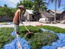 工作在的妇女海藻在努沙Lembongan调遣 免版税库存照片