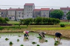 工作在米的中国妇女在中国调遣 免版税库存图片