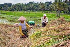 工作在米的工作者在龙目岛,印度尼西亚调遣 图库摄影