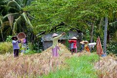 工作在米的工作者在龙目岛,印度尼西亚调遣 库存图片