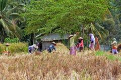 工作在米的工作者在龙目岛,印度尼西亚调遣 免版税库存照片