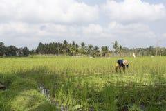 工作在米领域的人 免版税库存照片