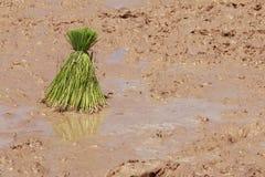 工作在米领域的农夫 免版税图库摄影