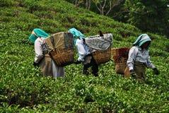 工作在茶园的妇女在喜马拉雅山 免版税库存图片