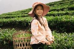 工作在茶园的越南女孩在Sapa地区 库存图片