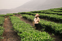 工作在茶园的越南女孩在Sapa地区 免版税图库摄影