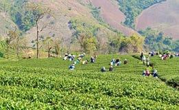 工作在茶领域收获的当地人民 免版税库存图片