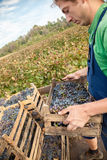 工作在葡萄园里的农夫 库存照片