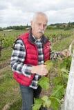 工作在葡萄园里的资深酒种植者 库存照片