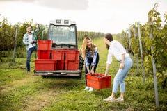 工作在葡萄园里的青年人 免版税库存照片