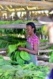工作在雪茄工厂的古巴妇女 库存照片