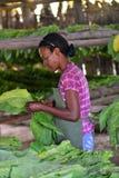 工作在雪茄工厂的古巴妇女 免版税库存照片