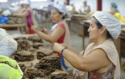工作在雪茄工厂的妇女 库存图片