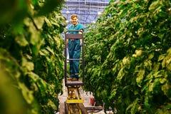 工作在水力剪刀推力平台的友好的农夫自温室 库存照片