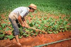 工作在他的烟草田的农夫在Vinales,古巴 库存图片