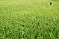 工作在稻米的妇女 库存照片