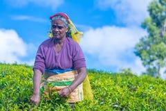 工作在Dambetenna庄园的泰米尔人妇女打破茶叶 免版税图库摄影