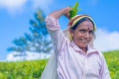 工作在Dambetenna庄园的泰米尔人妇女打破茶叶 库存照片