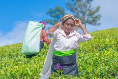 工作在Dambetenna庄园的泰米尔人妇女打破茶叶 图库摄影