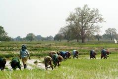 工作在ricefield的缅甸农夫 免版税库存图片