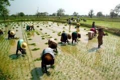 工作在ricefield的缅甸农夫 免版税库存照片